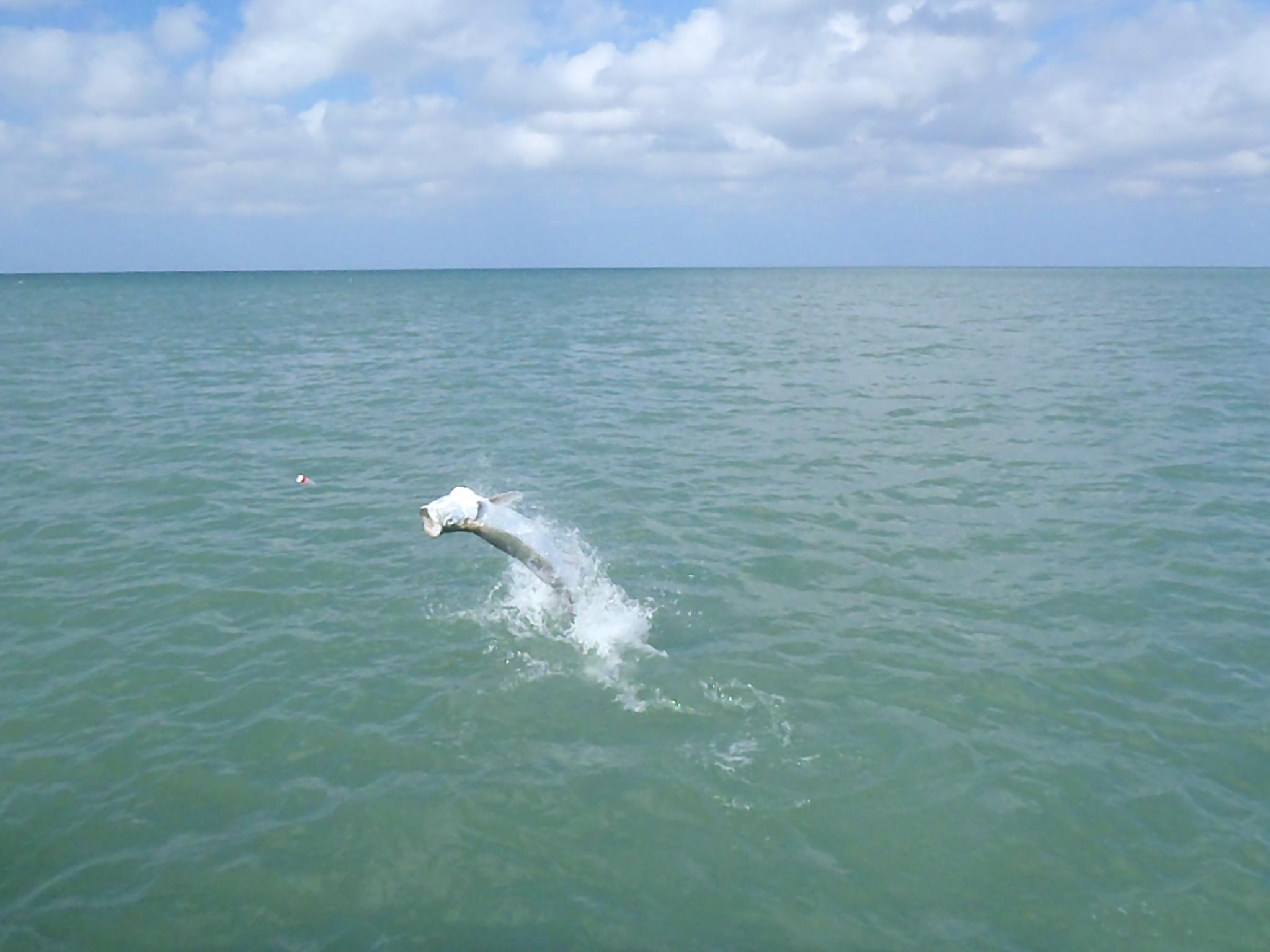 Olympus digital camera naples fl fishing guide for Tarpon fishing florida