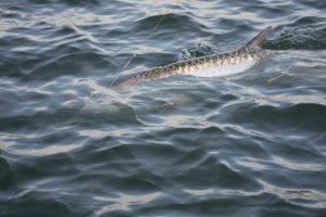 Naples Saltwater Fishing - Fishing 1