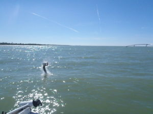 Naples Tarpon Fishing Guide